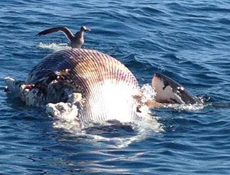 Pacific Coast Shark News Santa Barbara Sept 2013