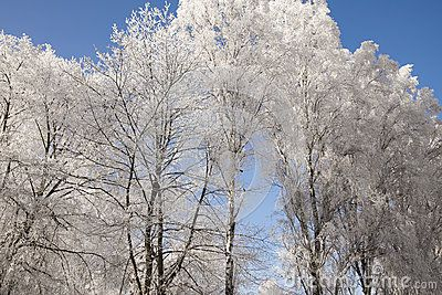 Trees covered in white snow on a blue sky background