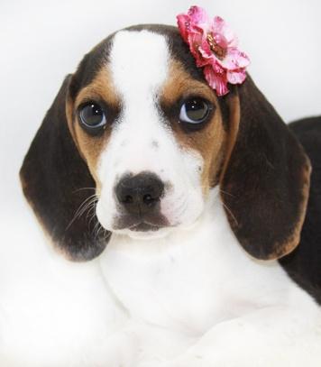 17 Best images about Jackabees & Pocket Beagles on ...