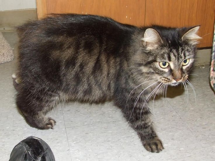 Tabby Cymric Cat Image.    Cymric Cat is a breed of domestic cat. Some cat registries consider the Cymric Cat simply a semi-long-haired variety of the Manx breed, rather than a separate breed.  #Cymric #Cat #Breed #CymricCat #CymricKittens