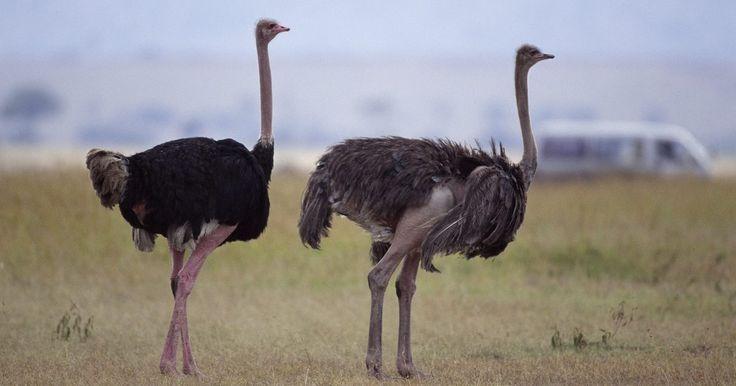 Cómo criar huevos de avestruz . Las avestruces ponen en promedio entre 40 y 100 huevos por año y cada huevo toma 42 días en eclosionar. En la naturaleza o en las granjas donde las avestruces tienen permiso de empollar sus propios huevos, las hembras se sentarán en los nidos durante el día y por la noche los machos se harán cargo. Sin embargo, si buscas criar los huevos de ...