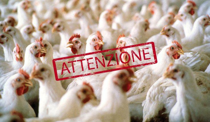 Parma - Aviaria, 850mila galline bruciate nell'inceneritore