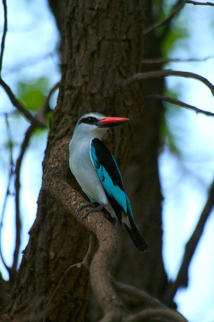 adult kingfisher