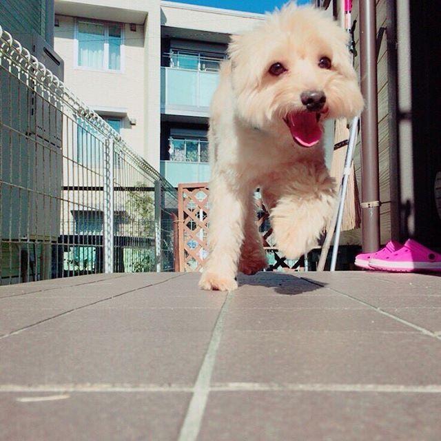 あーら可愛い笑顔。 やっぱり我が家の天使だわ👼🏼🏹💓 . 最近後期つわりっぽくて死にかけ。 切迫早産気味だし毎日ベッドと友達。つら 生まれるまであと60日!! . #スピプーのくうちゃん #わんこ #dog #spitz #poodle #mixdog #スピッツ #プードル #ミックス犬 #スピプー #愛犬 #🐶 #我が家の永遠のアイドル #だいすき #かわいい #ふわもこ部 #ふわふわ #モップ犬 #後期つわり #ベッドと友達 #切迫早産気味 #31w3d