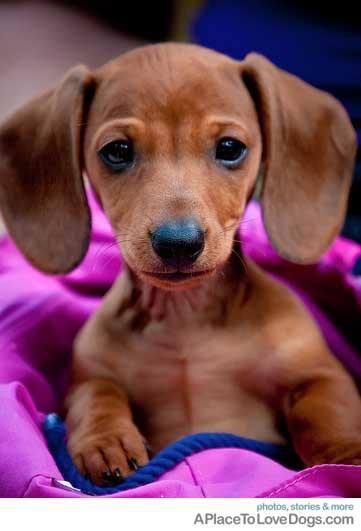 Little Dog With Big Ears