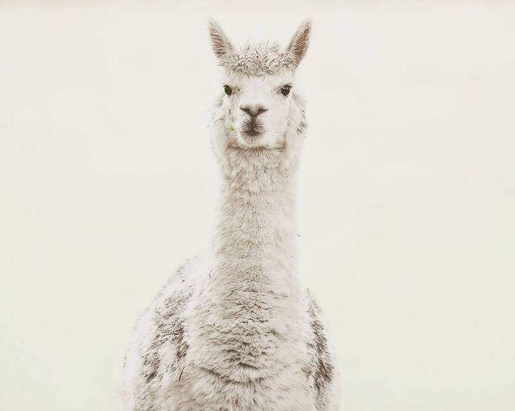 Alpaca Print, Animal Print, Nursery Animal Prints, Wall Art, Nursery Decor, Farmahouse Decor, Nursery Wall Art, Alpaca - Milky White by EYESSAY on Etsy