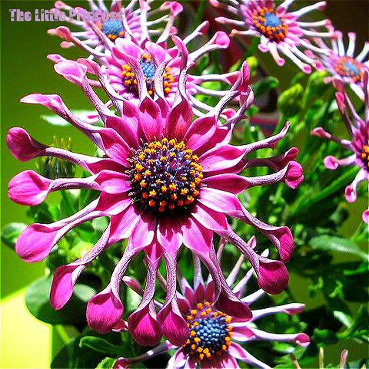 Venda quente 5 Cores Disponíveis Osteospermum sementes Em Vasos de Plantas com flores Da Margarida Azul sementes de Flores, 50 sementes/Lote,(China (Mainland))