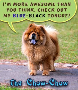 Blue-black tongue of Chow Chow dog breed