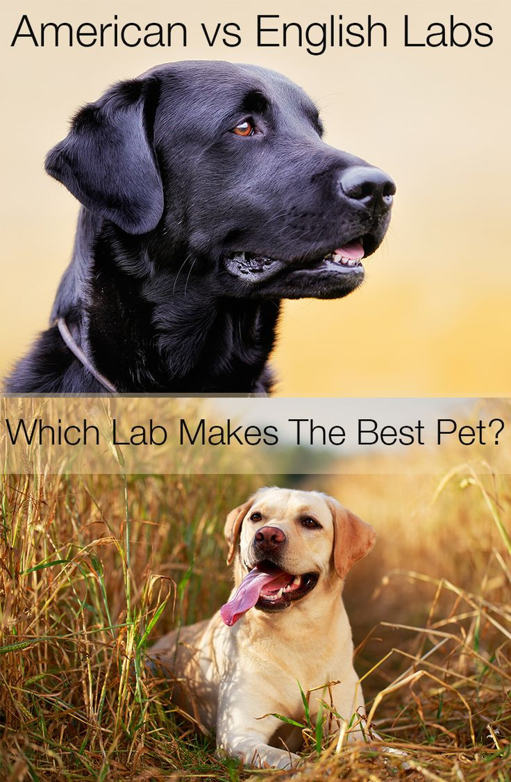 Two Very Different Types Of Labrador But Which Is Best As A Pet Or Right For You Working O American Labrador Labrador Retriever Dog Labrador Retriever Puppies