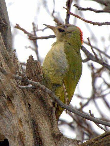 Levaillant's Woodpecker by Adam Riley taken on a Rockjumper Birding Tour in Morocco.