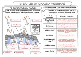 A Level Biology: Cell Membrane Structure Worksheet   Cell ...