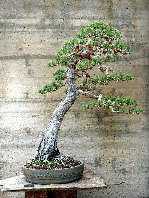 500 best images about bonsai on pinterest bonsai trees for Literati bonsai gallery
