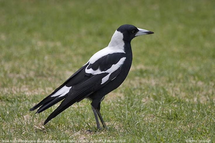 Magpie's are found in nearly every backyard in Australia.