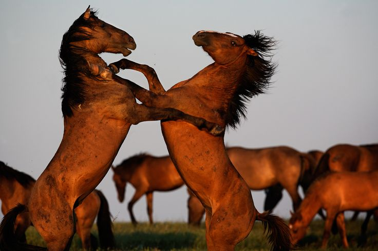 Gli ultimi cavalli selvaggi del west. - (Melissa Farlow)