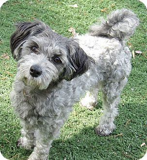 Twinsburg, OH - Poodle (Toy or Tea Cup)/Schnauzer (Miniature) Mix. Meet Ally (8 lb) A Sweetheart, a dog for adoption. http://www.adoptapet.com/pet/18057267-twinsburg-ohio-poodle-toy-or-tea-cup-mix