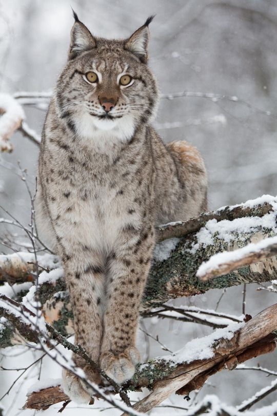 spanish lynx essay After six decades of decline and pronounced range contraction, between 2002  and 2012 population size of the iberian lynx has continuously increased to 156.