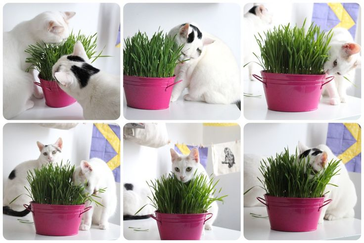 Cat grass is sometimes referred to as catnip or kitty grass.