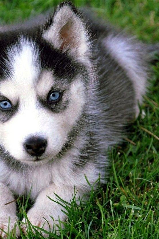 Blue eyed husky pup