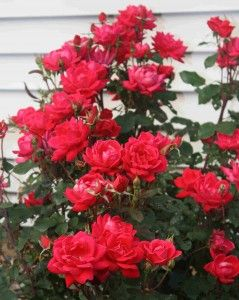 This is one of the easiest to grow rose bushes available. The