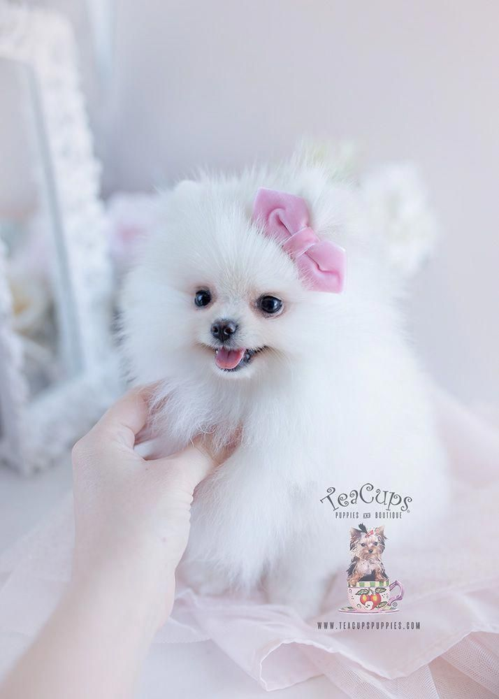 White Teacup Puppy : white, teacup, puppy, Poms!