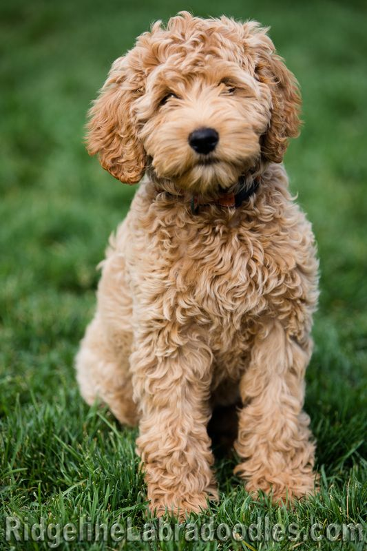 © 2016 Ridgeline Australian Labradoodles, LLC | R idgelineLabradoodles@gmail.com   REPRODUCTION OF MATERIAL OR PHOTOS WITHOUT WRITTEN PERMISSION IS PROHIBITED
