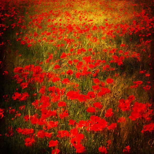 Up-close and personal to Monet - Poppies