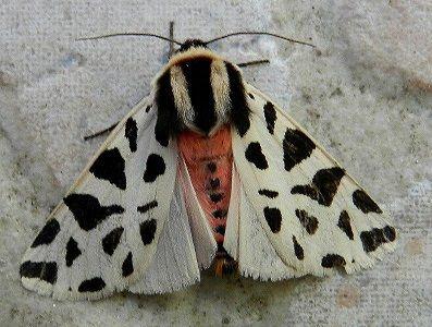 Cymbalophora pudica (Esper, [1785]) - le farfalle della Puglia
