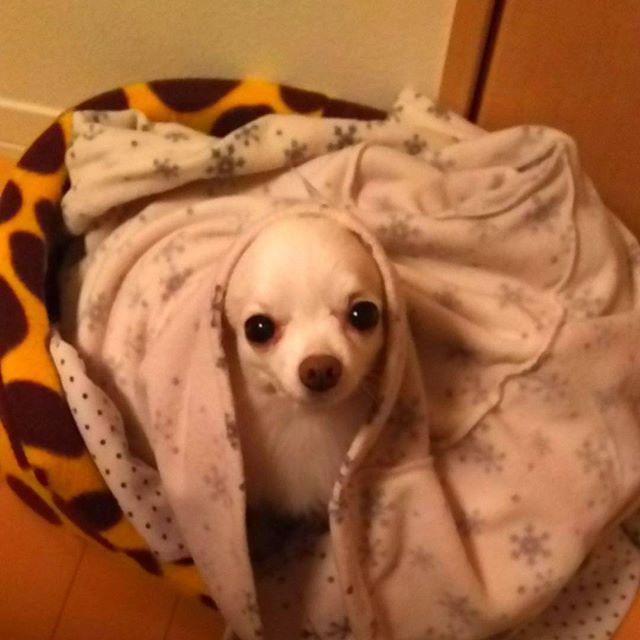 つるんとしたチーズ🤣  #mydog #family #dog #cute #chihuahua #happy #instagood #petstagram #love #maltesemix #🐶 #愛犬 #犬 #ワンちゃん #癒される #家族 #可愛くて仕方ない #チワワ #マルチーズ #ミックス犬 #チワマル #甘えん坊 #チワマルなのにほぼチワワ #つるんとしたチーズ #😂