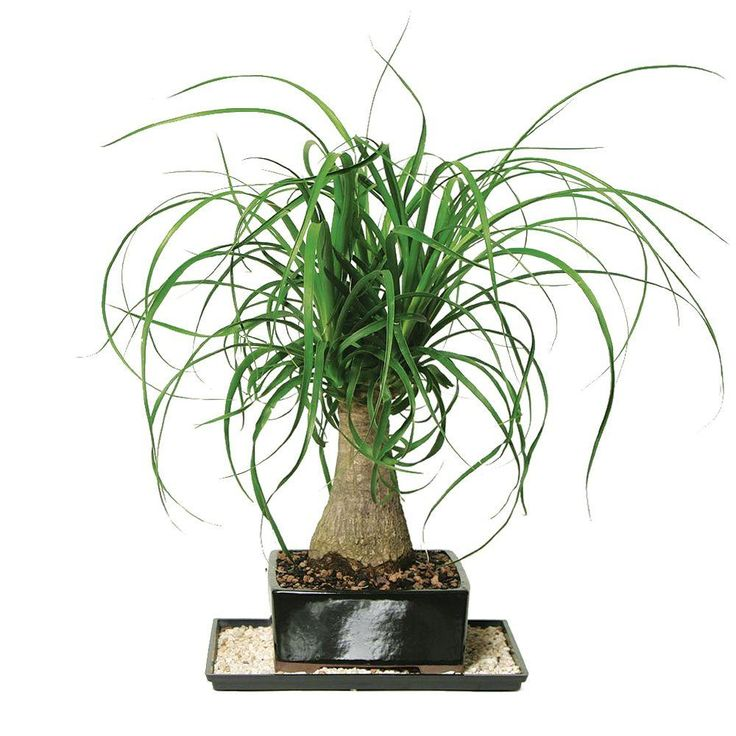 Ponytail Palms are lovely and very low maintenance. This is one of The Home Depot's top-pinned products.