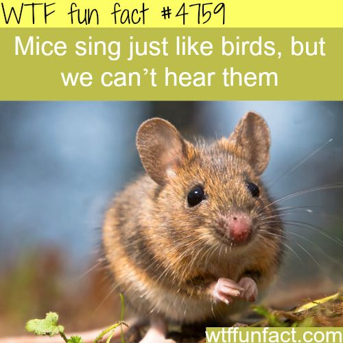 Mice sing just like birds - WTF fun facts