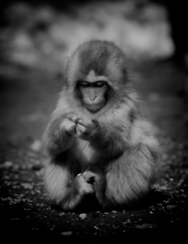 Photographer Pernille Westh | Snow Monkey photographed in Japan · Get my 7 FREE basic photography tips - you need to know! http://pw5383.wixsite.com/free-photo-tips