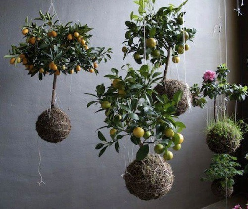 55 best images about kokedama on pinterest gardens planters and asparagus fern. Black Bedroom Furniture Sets. Home Design Ideas