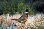 How to Raise Pheasant for Profit                                                                                                                                                                                 More