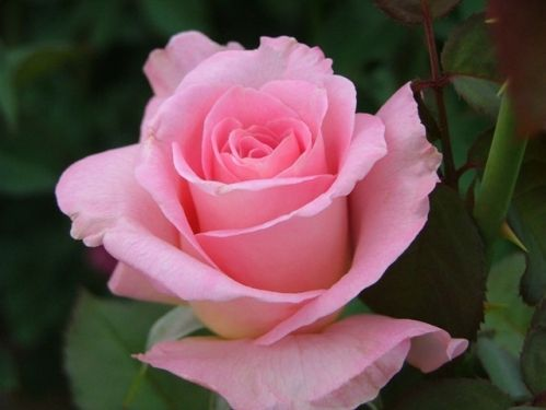 The radiant pink Tiffany Rose has been a garden staple for decades and is the third variety featured in the novel. This photo was found at Annelie's Rose Gardening Made Easy.