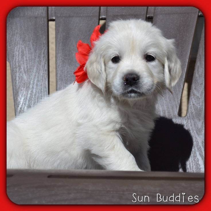 Beautiful Baby Golden!  #puppy #puppies