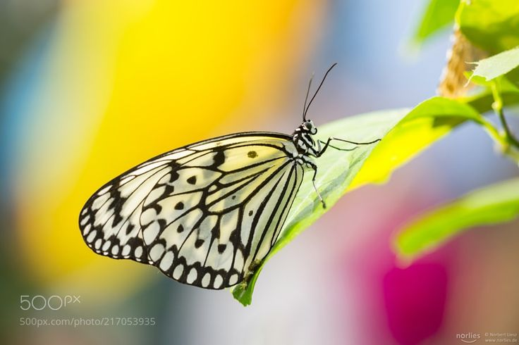 colors and butterfly - Found this beautiful butterfly in the exhibition on the Botanic Garden in Augsburg. Hope you enjoy! The name of the butterfly is idea leuconoe. Other names are paper kite rice paper or large tree nymph butterfly. Is known especially for its presence in butterfly greenhouses and live butterfly expositions. The paper kite is of Southeast Asian origin (Wikipedia). More butterfly picture on my facebook Account: facebook