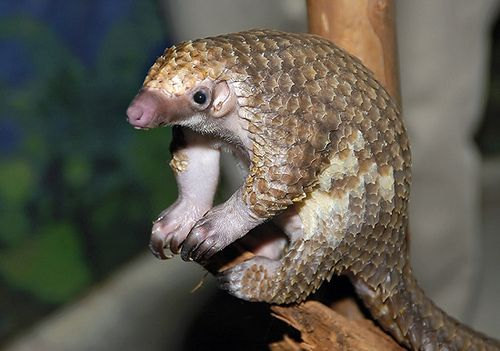 Image result for pangolin creative commons images