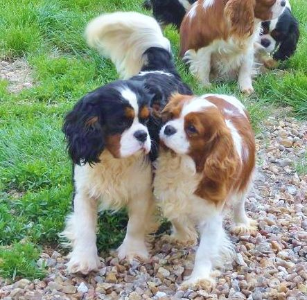 "Cavalier King Charles Spaniel......❤ ""So then she said..."""