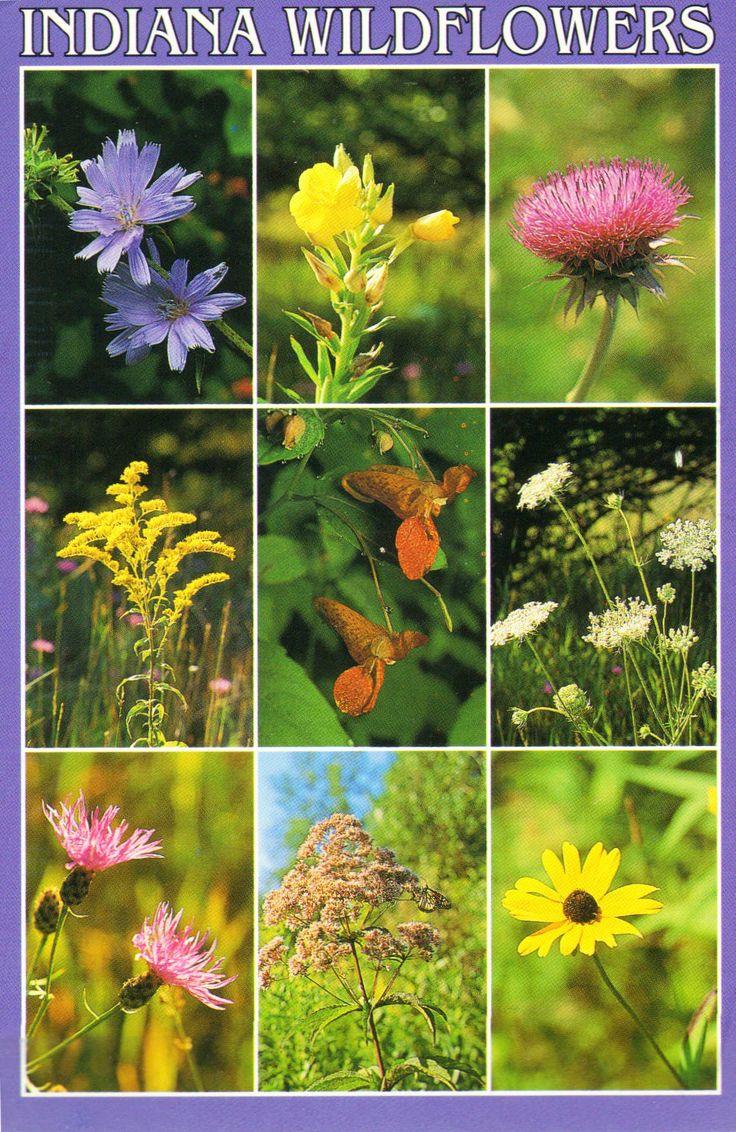 Indiana Wildflowers U S A Chicory Evening Primrose Canada Thistle Goldenrod Spotted Jewelweed Wild Carrot Knapweed Joe Pye