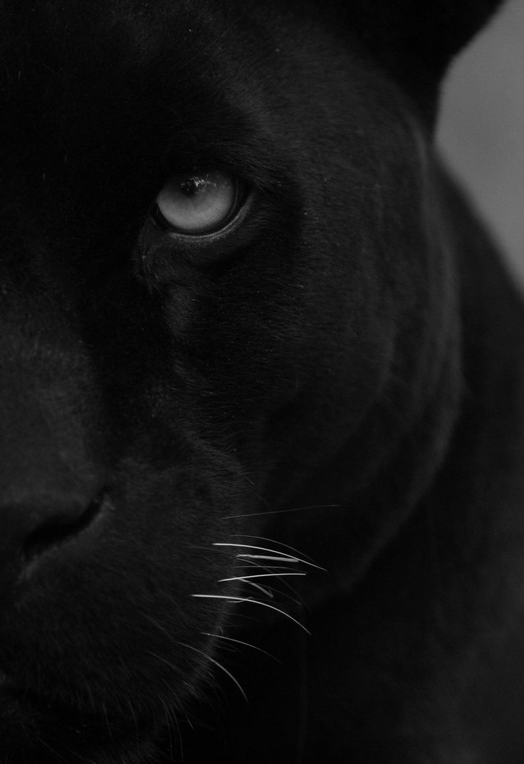 There's something so sublime about the black panther..