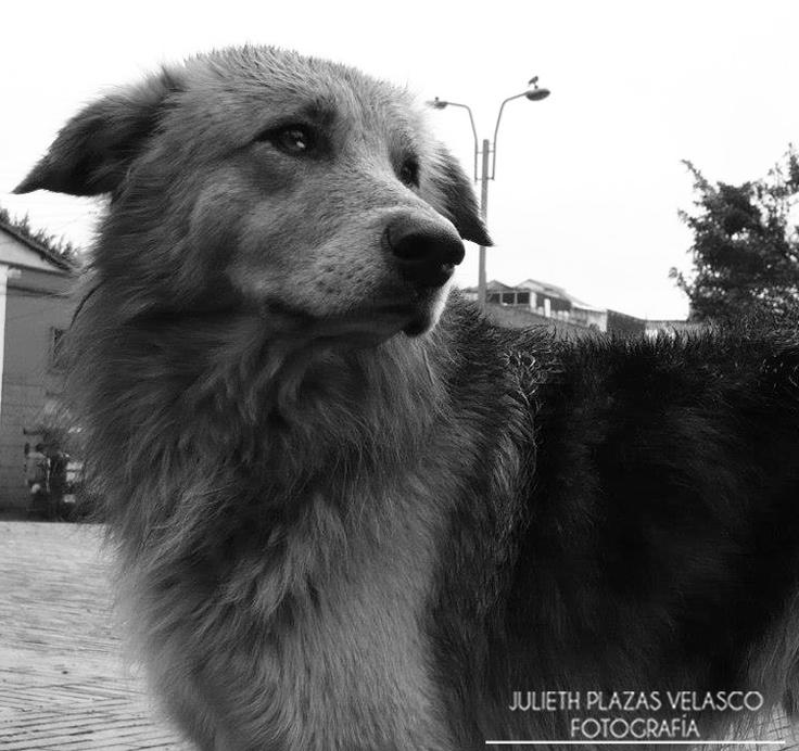 Perro Callejero. Raza Criollo.