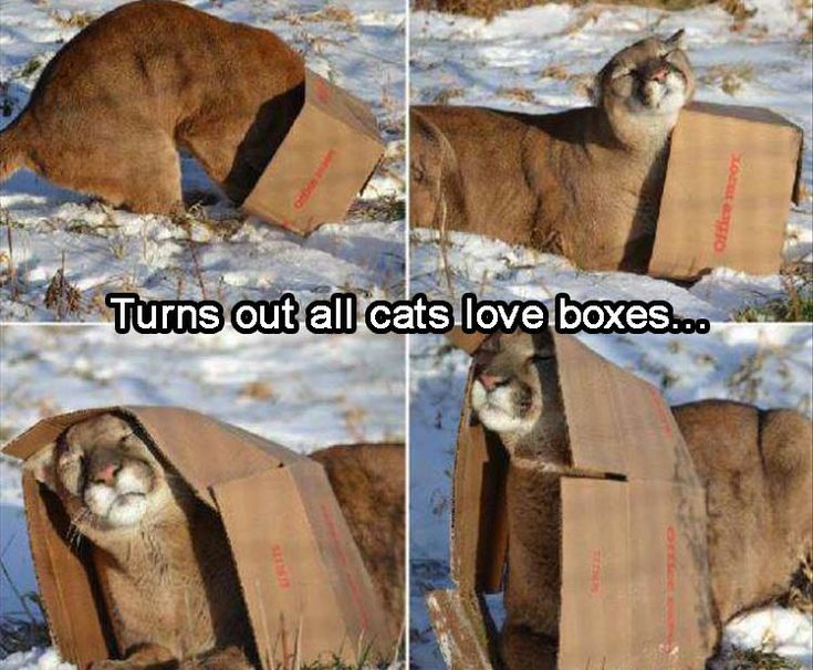 No matter the size of the kitty, boxes are still the favorite