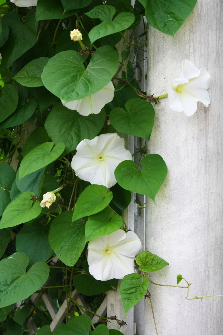 just planted my Moonflowers - such a quick growing plant - love the fragrance