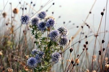 Blue Echinops flowers as a background