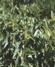 Крапива двудомная Внешний вид: Травянистый многолетник с ползучим корневищем и прямостоячим 4-гранным стеблем до 100-120 см высотой. Листья супротивные, яйцевидно-продолговатые, по краю крупнозубчатые, черешковые, покрыты, как и стебли, жесткими жгучими волосками.