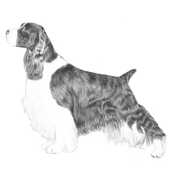 Meet the AKC Breed of the Day -- The English Springer Spaniel Breed Standard Illustration