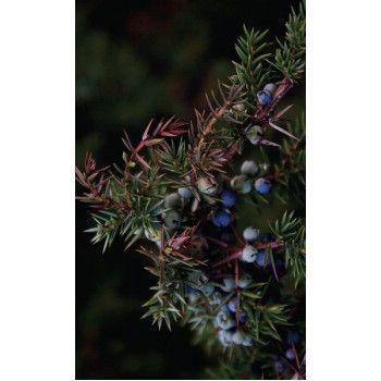 Under enbärens två första år är de gröna, men när de sedan mognar under det tredje året blir de mörkblå eller svarta. Det är då det är dags att plocka dem.