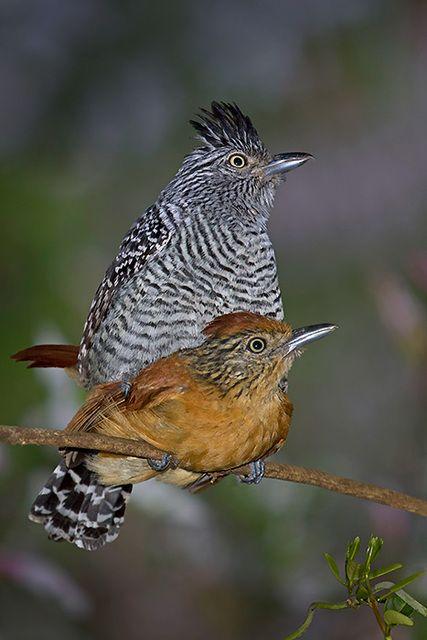 Foto choca-barrada (Thamnophilus doliatus) por Sergio Gregorio | Wiki Aves - A Enciclopédia das Aves do Brasil