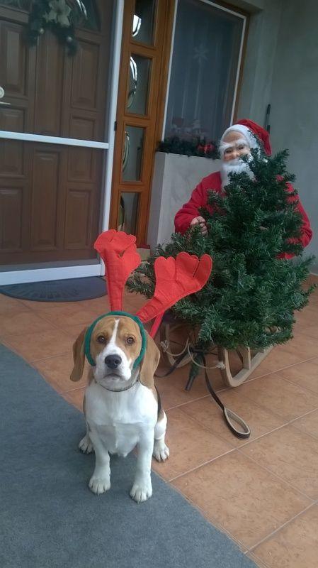 Nevezz be te is beagle kutyádról készült, karácsonyi, vagy szilveszteri fényképeddel!Ha a fotódat a szerkesztők beválogatják a legjobbak közé...