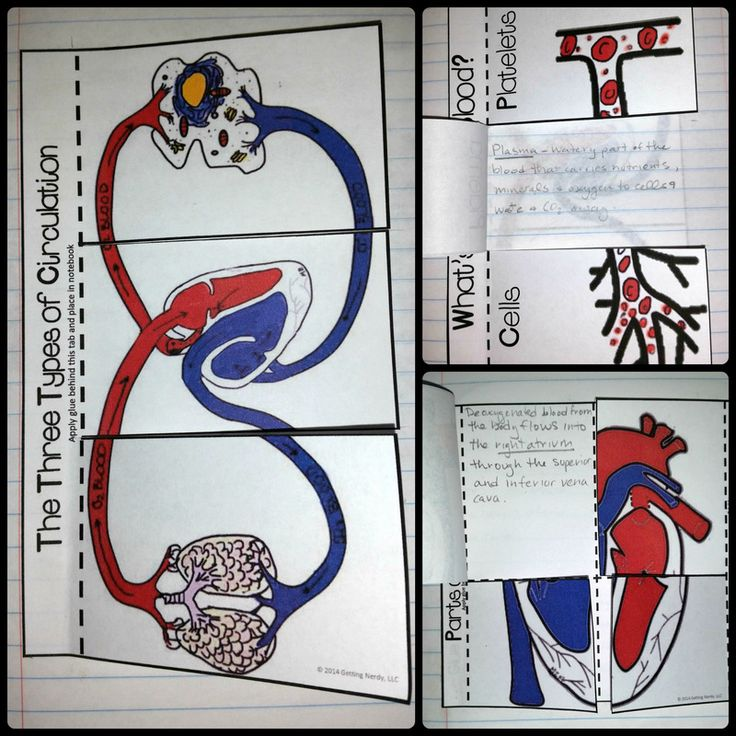 Colorful Interactive Notebook activities for the circulatory / cardiovascular system - types of circulation, parts of the blood, and heart diagram